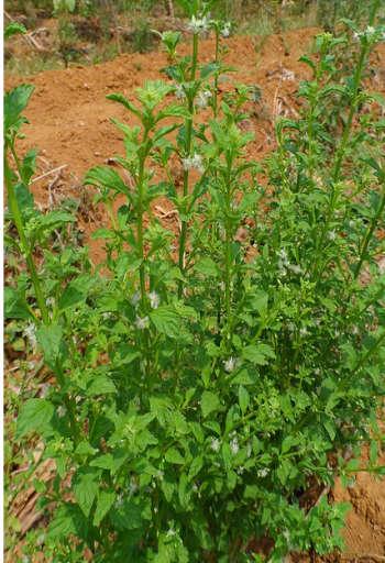 Sweet Broomweed