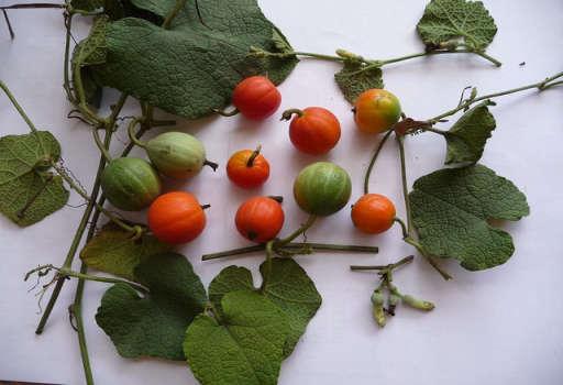 Trichosanthes Fruit