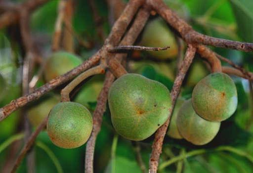Tung Seed