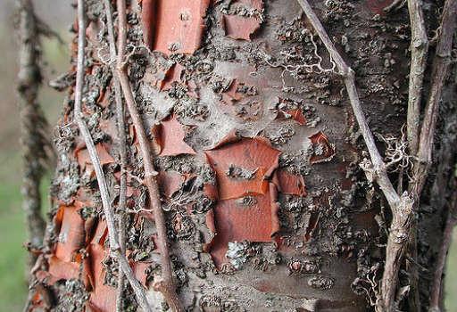 Corteza de Cerezo Silvestre