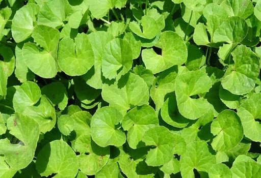Planta de Brahmi