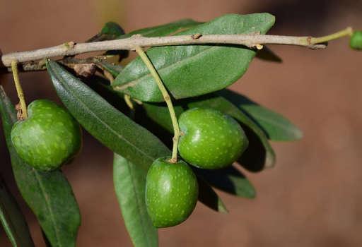 橄榄叶萃取