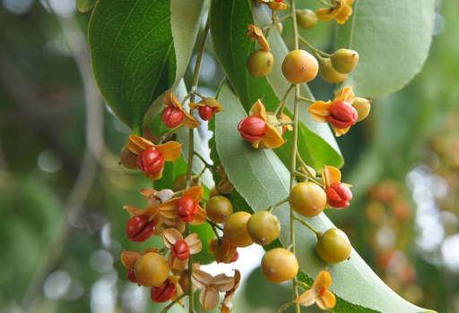 Celastrus Seeds Oil