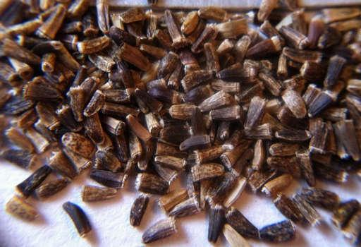 Cichorium Intybus Seed