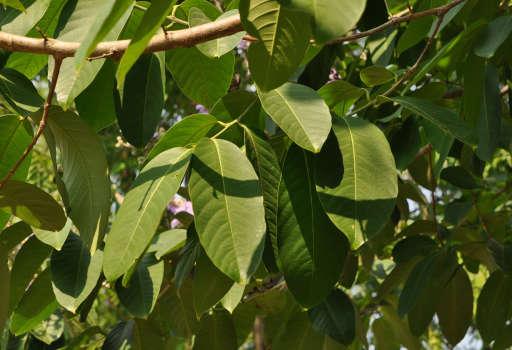Banaba Leaf