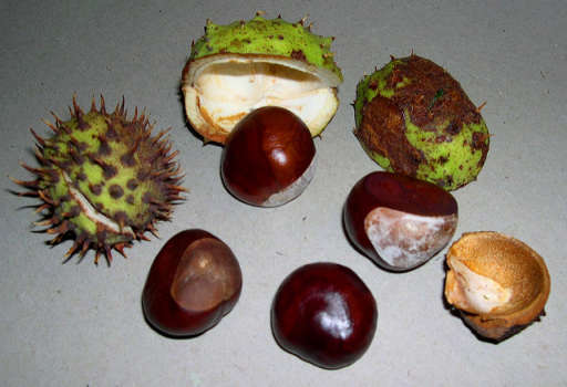 Horse Chestnut Seeds