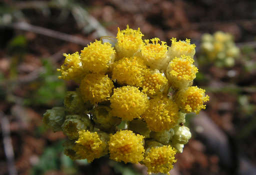 Aceite de Helichrysum