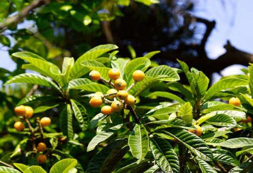 Loqat Leaf
