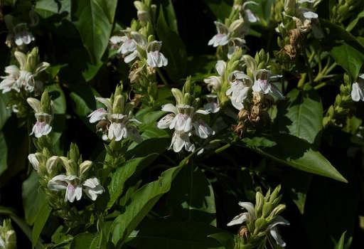 Malabar Nut