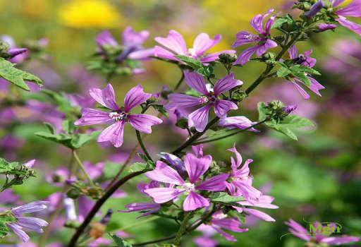 锦葵属植物