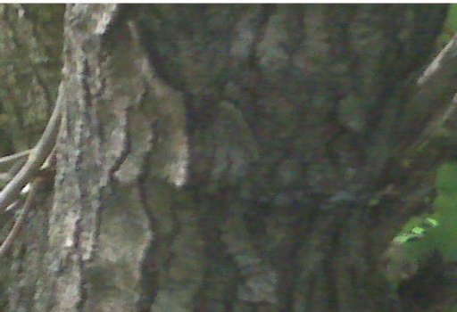 Mulberry Bark