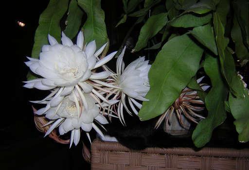 Cereus nocturno
