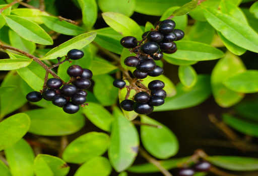 Privet Fruit