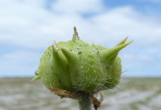 Puncture Vine Fruit